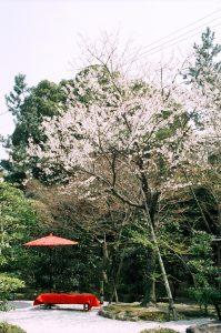 薄墨桜咲く春の庭園